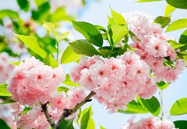 Fotomural Sakura Blossom 133