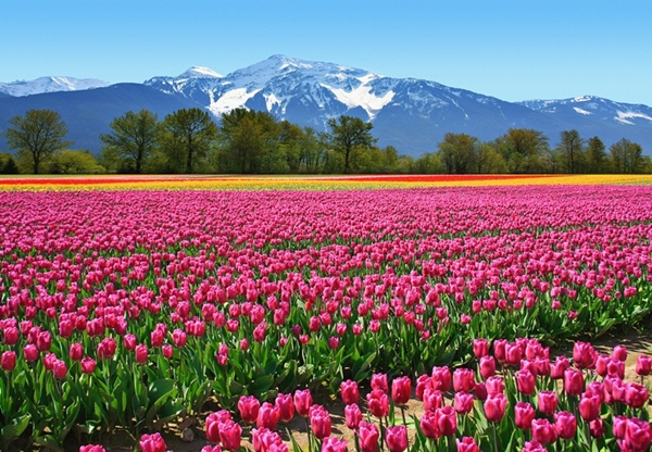 Fotomural Tulips 137