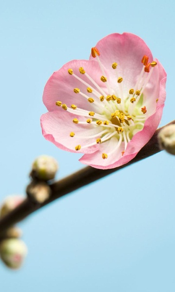 Fotomural Peach Blossom V3-753
