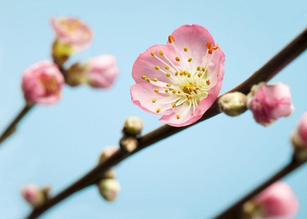 Fotomural Peach Blossom V7-753